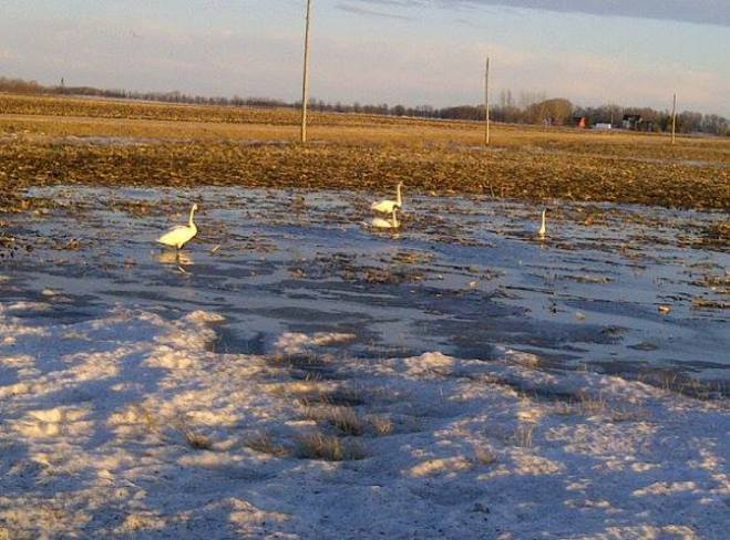 Swans in the field Niverville, Manitoba Canada
