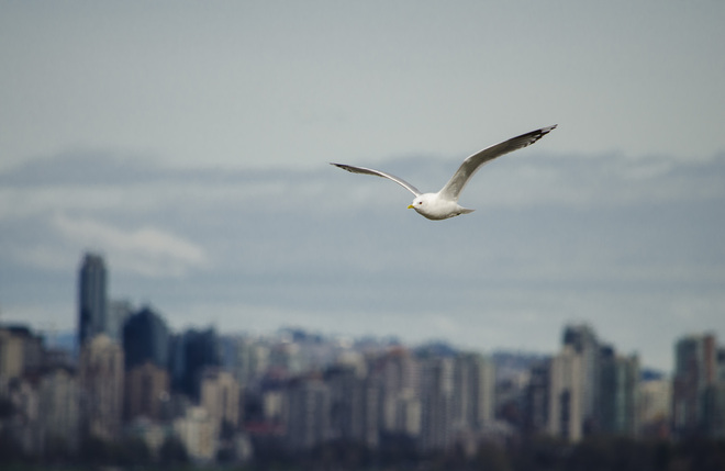 Seagull and City Scape Vancouver, British Columbia Canada