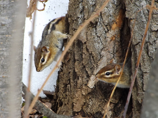 CHIP and DALE Thunder Bay, Ontario Canada