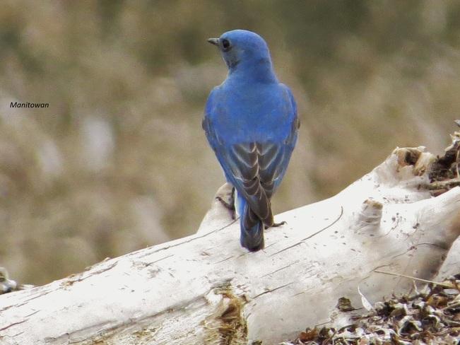 Blue Orioles Cape Parksville, British Columbia Canada