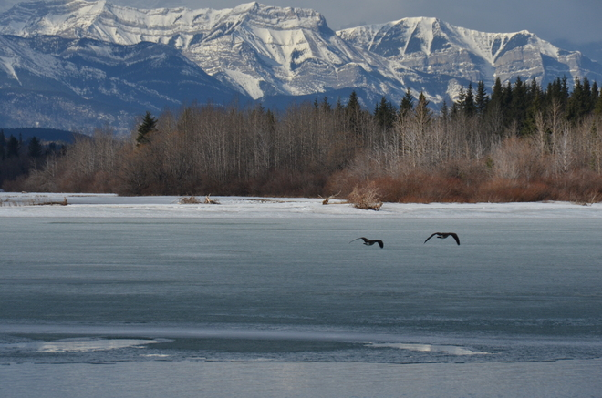 Geese flying over ghost lake Cochrane, Alberta Canada