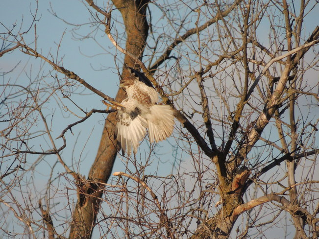 Beauty red tailed hawk Aurora, Ontario Canada