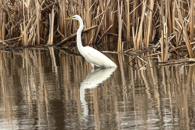About Time.The Great Egret finally Wheatley, Ontario Canada