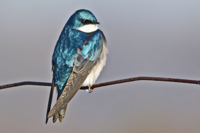 Tree Swallow Kitchener, Ontario Canada