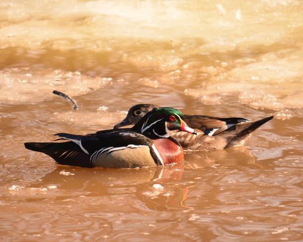 Ducks that pass in the Night Ottawa, Ontario Canada