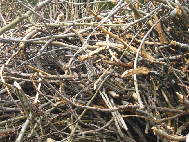 snakes in woodpile Puslinch, Ontario Canada