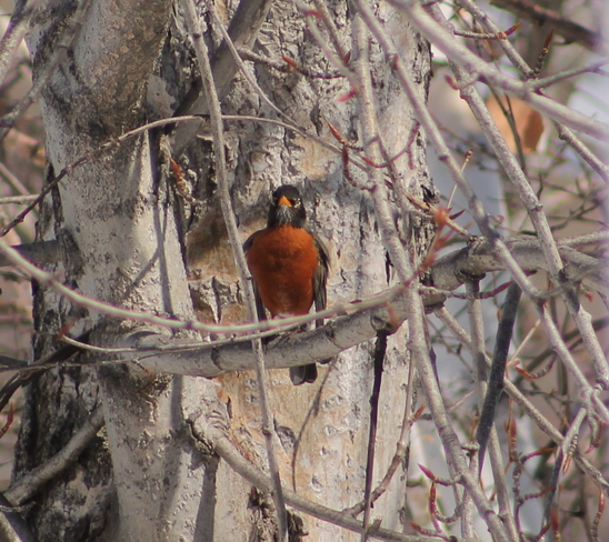 Robins are here!! Bathurst, New Brunswick Canada