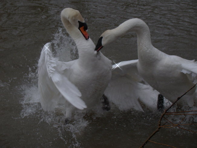 Swan fight Whitby, Ontario Canada