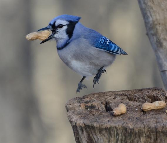 Blue Jay Whitby, Ontario Canada