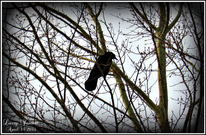 """""""Mr. Crow"""" Springdale, Newfoundland and Labrador Canada"""