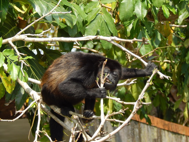 Lunch Time for the howler monkeys