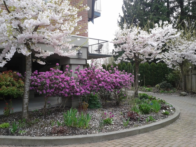 Cherry Trees & Azalea Blossoms Langley, British Columbia Canada