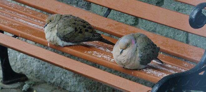 doves hiding from snow....me 2 Scarborough, Ontario Canada