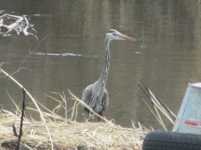 Fishing Heron Vernon, British Columbia Canada