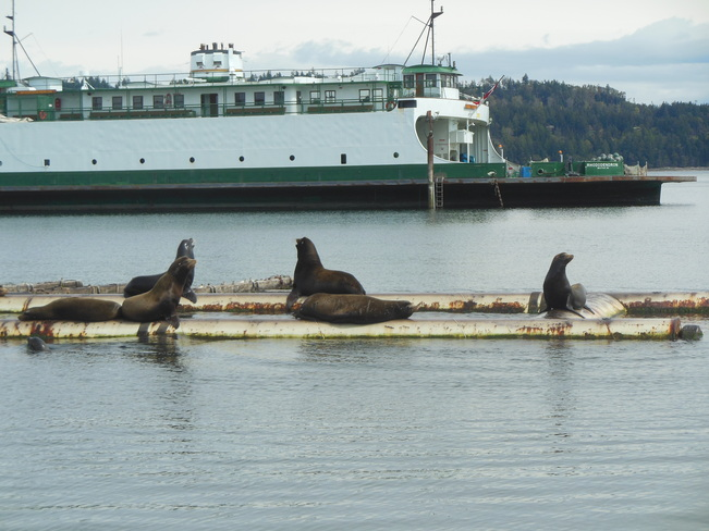 Sea Lions Basking in the Sun Fanny Bay, British Columbia Canada