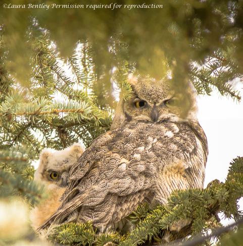 Great Horned Owl & Owlet~A Spring Thing Millarville, Alberta Canada