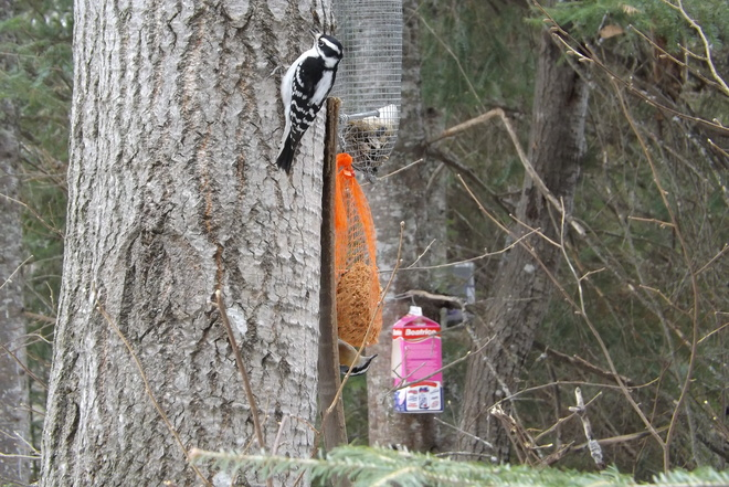 DOWNEY AND NUTHATCH EATING Thunder Bay, Ontario Canada