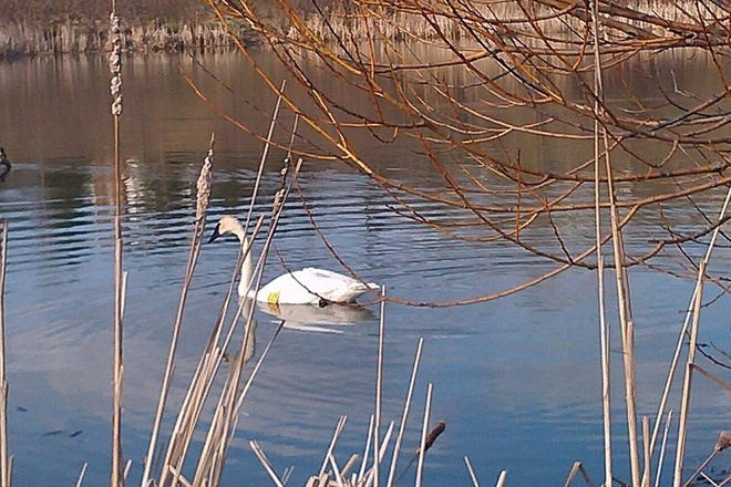 Spring is here! Swan comes out to play! Aurora, Ontario Canada