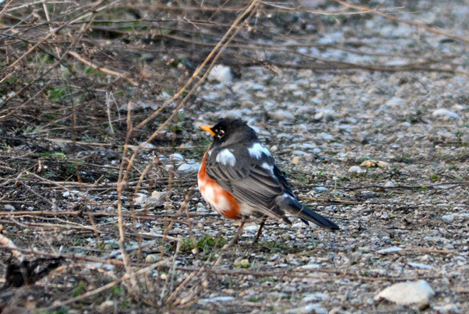 Moulting Robin??????? London, Ontario Canada