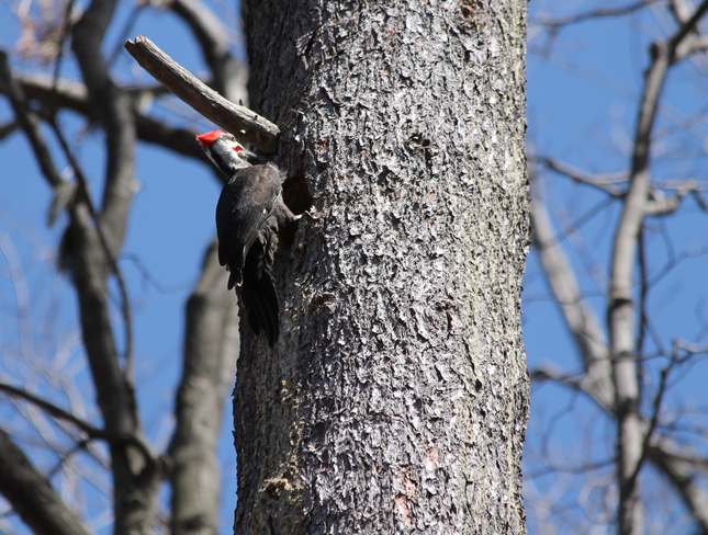 Male Pileated making a nest hole! Kingston, Ontario Canada