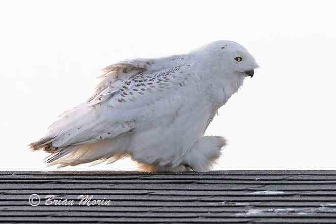 Take a look at the latest Snowy Owl footwear Ottawa, Ontario Canada