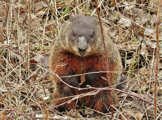Angry birds I've heard of but Angry Groundhogs? North Bay, Ontario Canada