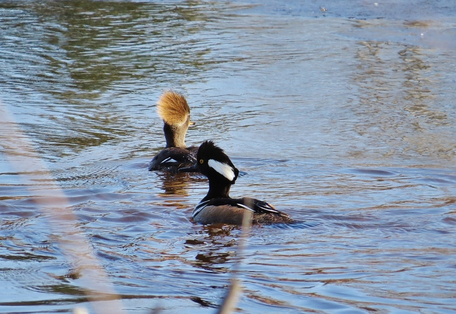 Hooded Merganser couple out for a quick swim. North Bay, Ontario Canada