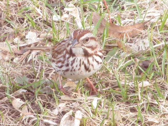 Sparrow Port McNicoll, Ontario Canada