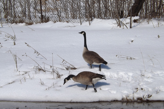 CANADA GEESE OUT FOR A WALK Thunder Bay, Ontario Canada