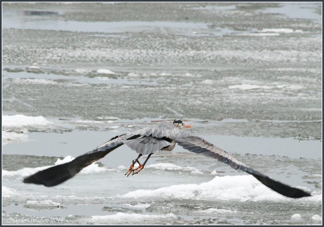 GBH taking off! Kingston, Ontario Canada