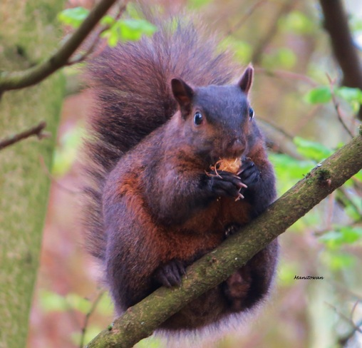 Choconut Coloured Squirrel New Westminster, British Columbia Canada