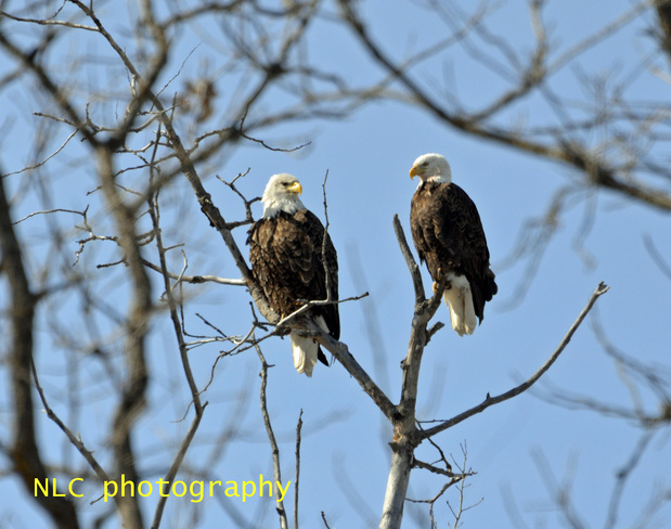 Bald head eagles