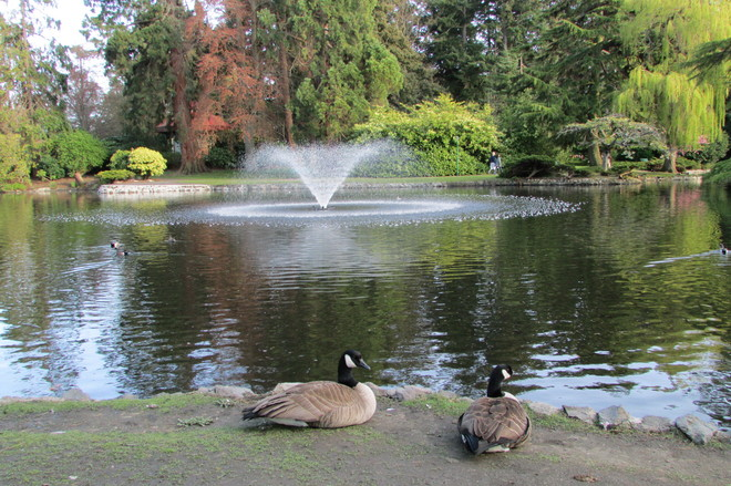 Canadian Geese Relaxing Victoria, British Columbia Canada