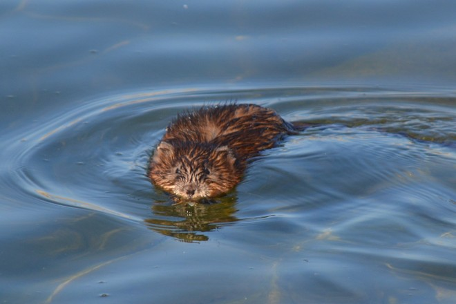 Muskrat! St. Catharines, Ontario Canada