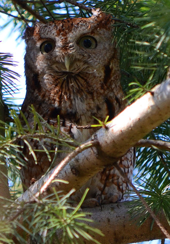 Eastern Screech Owl red Morphed Scarborough, Ontario Canada