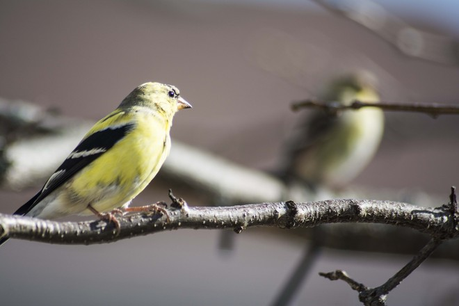 American Goldfinch Old Stittsville, Ontario Canada