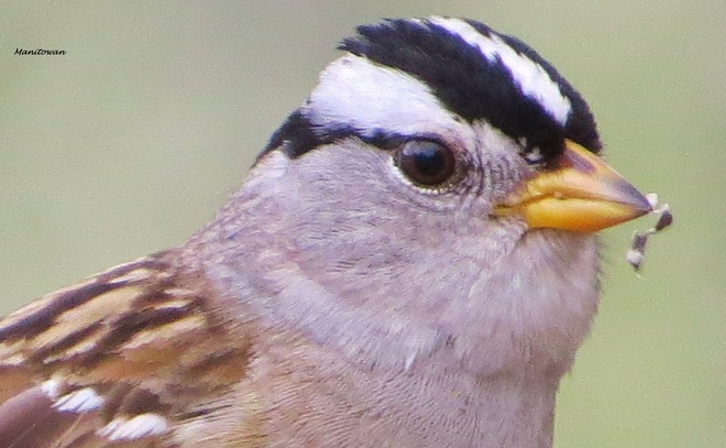 White Crowned Sparrow Burnaby, British Columbia Canada