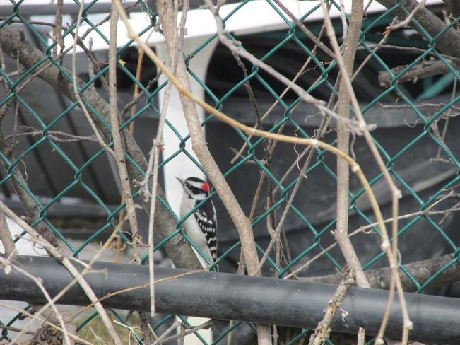 Woodpecker Gatineau, Quebec Canada