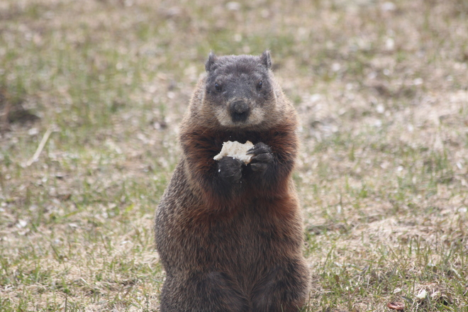 Welcome groundhogs Creemore, Ontario Canada