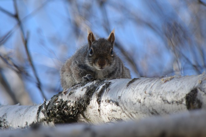 Mother -to -be squirrel