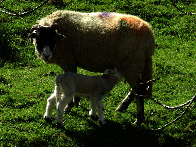 Lambing Time in England