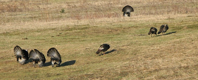 Wild Turkey Courtship Ritual - Part 1