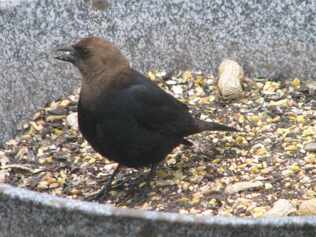 arrival of the brown headed cowbird