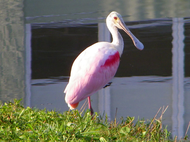 Spoonbill on our Heather Hill pond Dunedin, Florida United States