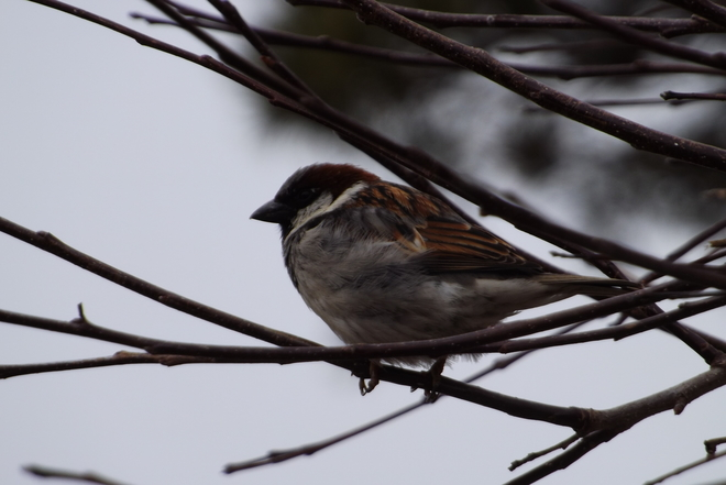 HOUSE SPARROW Thunder Bay, Ontario Canada