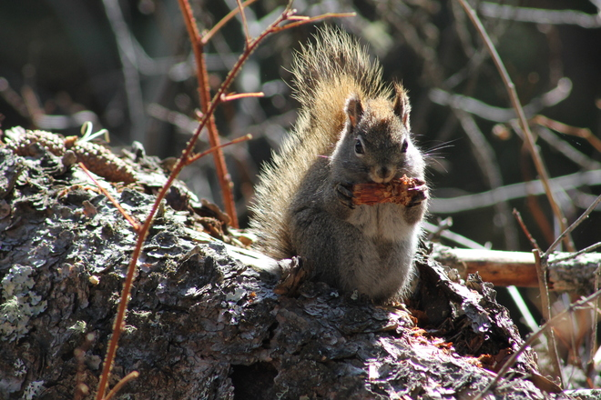 A squirrel doing lunch Elkwater, Alberta Canada