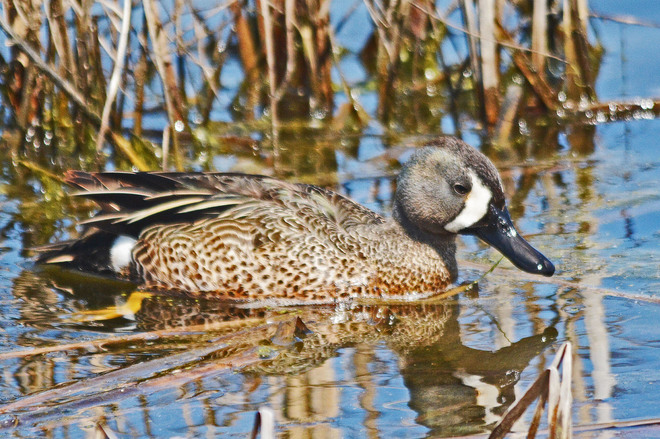 Blue-Winged Teal Whitby, Ontario Canada