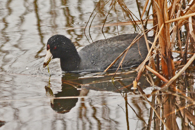 American Coot Whitby, Ontario Canada