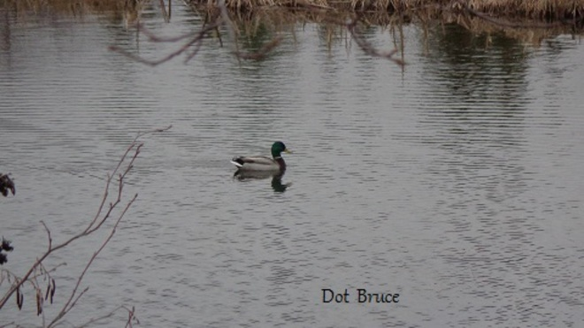 mallard calling his mate Middleton, Wisconsin United States