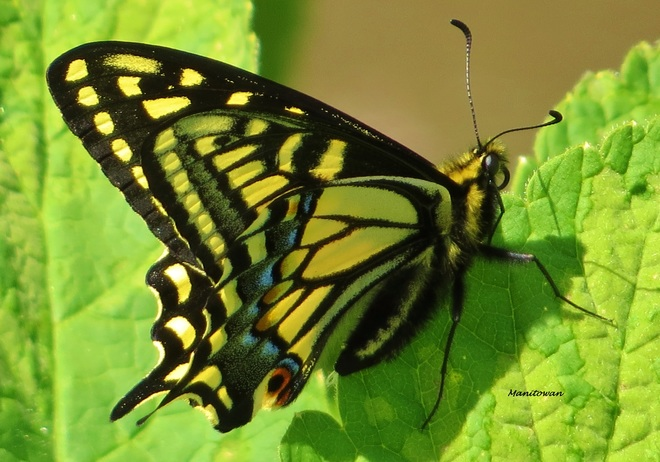 Eastern Tiger Swallowtail Delta, British Columbia Canada